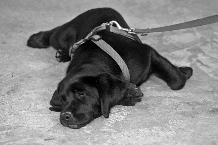 black labrador puppy on the ground wearing a leash