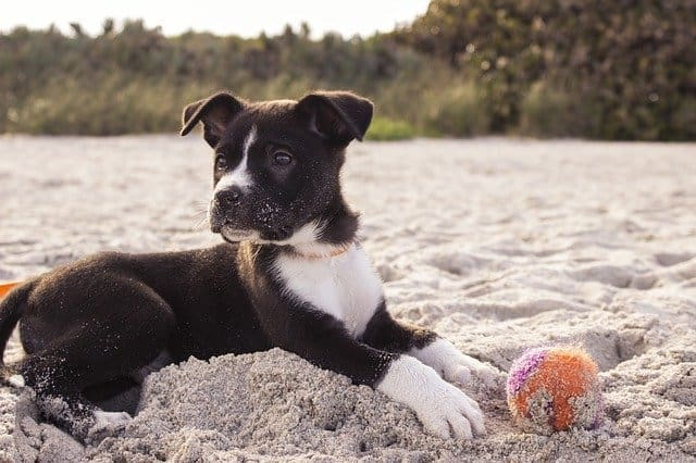 puppy on the beach with a ball